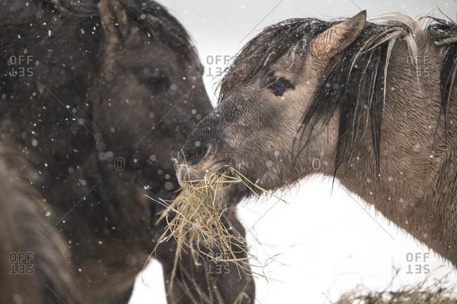 Konik Poski horses eating during winter snowfall