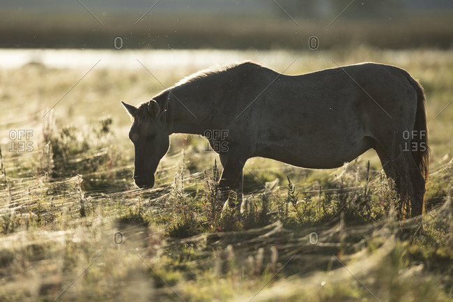 Konik Poski horse in a field with spider webs