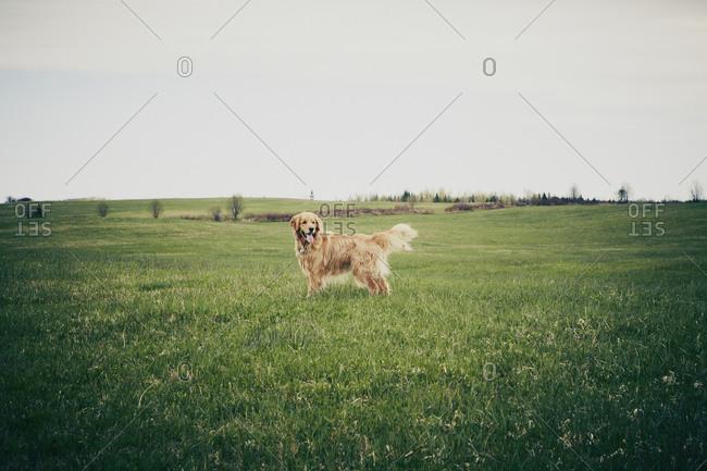 Golden Retriever puppy standing in field