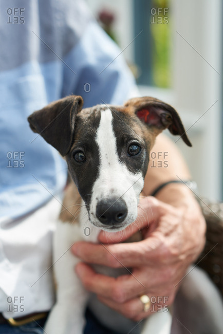 Perky whippet puppy in man's lap