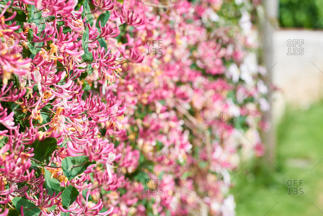 A wall covered in pink honeysuckle flowers