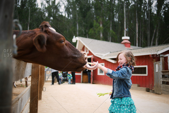 Cow licking girl's hand on farm
