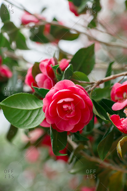 Camellia flowers in summer