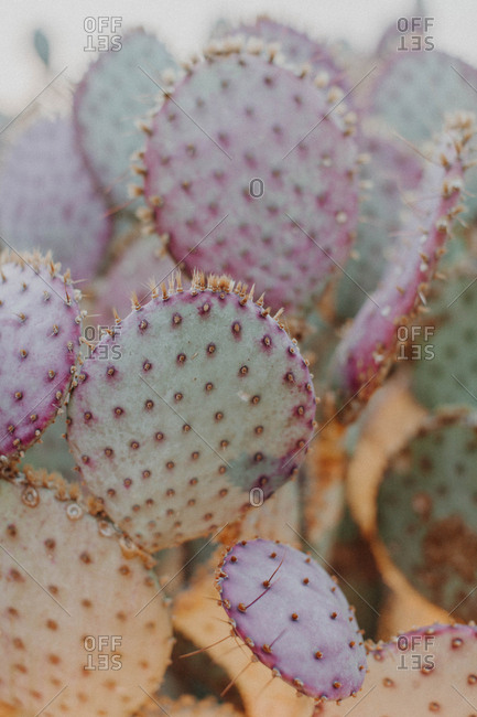 Purple prickly pear cactus - Offset