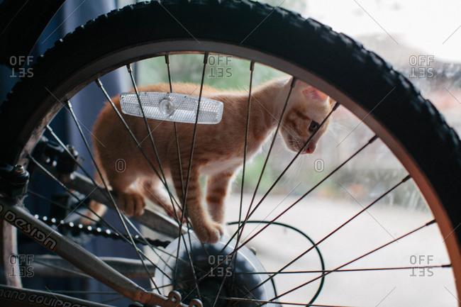 Small orange kitten climbing on bike tire