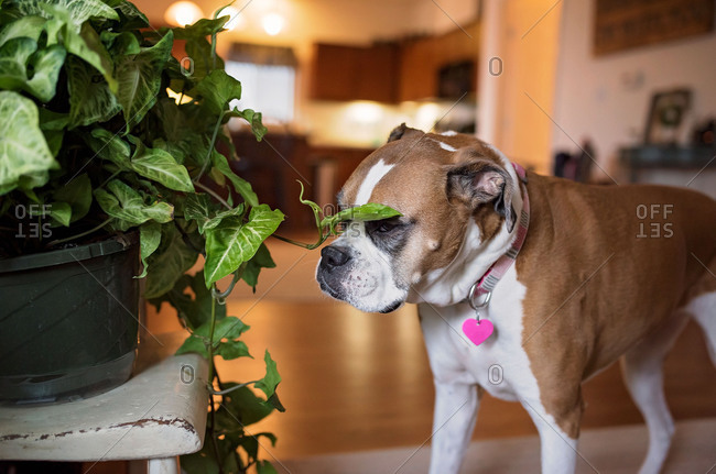 Dog with face by house plant