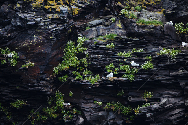 Seagulls sitting on black volcanic rock in a cave in Iceland