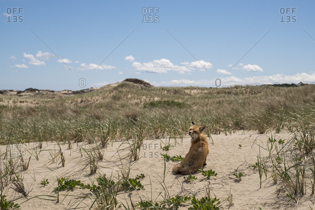 A fox sitting in sand dunes, Massachusetts