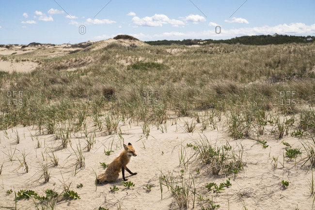 A fox in sand dunes, Massachusetts
