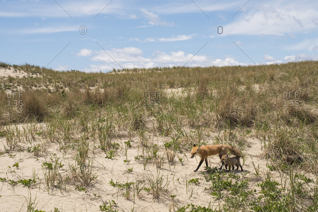Mother and baby fox in sand dunes
