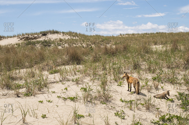 Mother and young fox in sand dunes