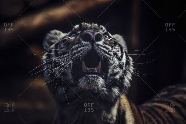 Close-up of a tiger's head