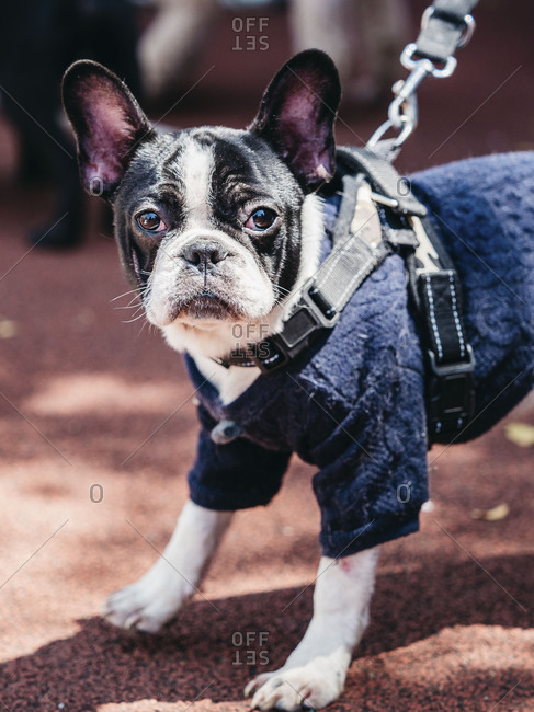 French bulldog wearing a sweater and looking at the camera