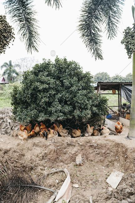 Free-range chickens roaming hiding under a bush
