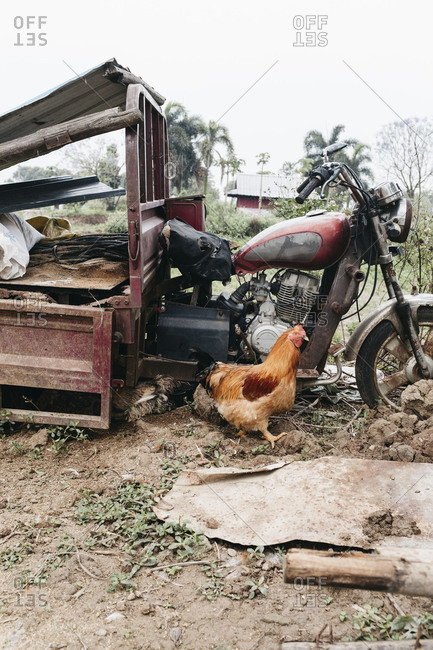 Guangzhou, China - April 21, 17: A free-range chicken exploring near a junk motorcycle