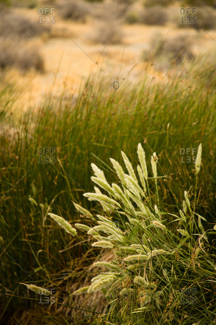 Variety of grasses growing in arid landscape
