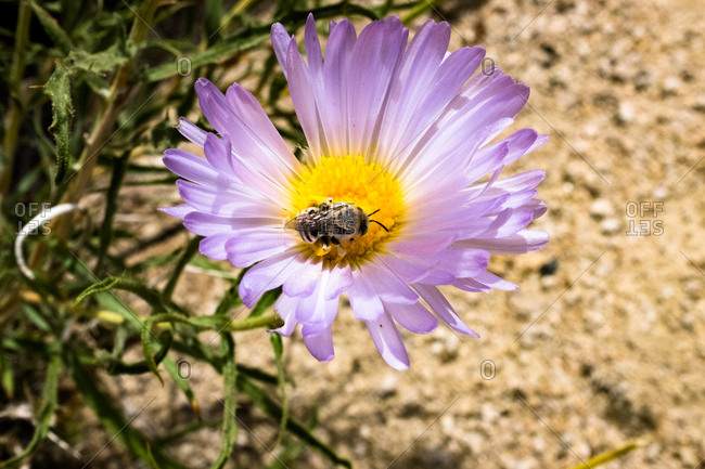 Purple desert wildflower and bee collecting pollen