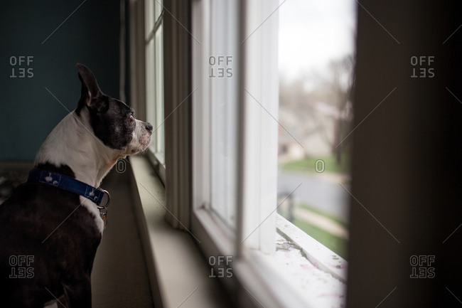 Boston terrier watching from the window