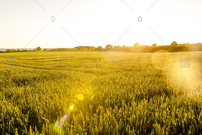 Wheat field in sunlight