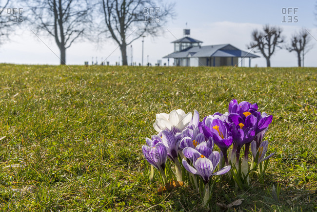Germany- crocus flowers on a meadow