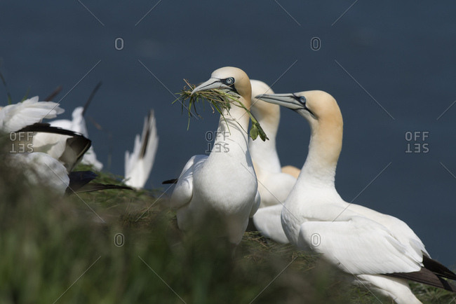 Group of northern gannets building nests