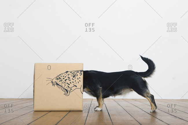 Roaring dog inside a cardboard box painted with a leopard