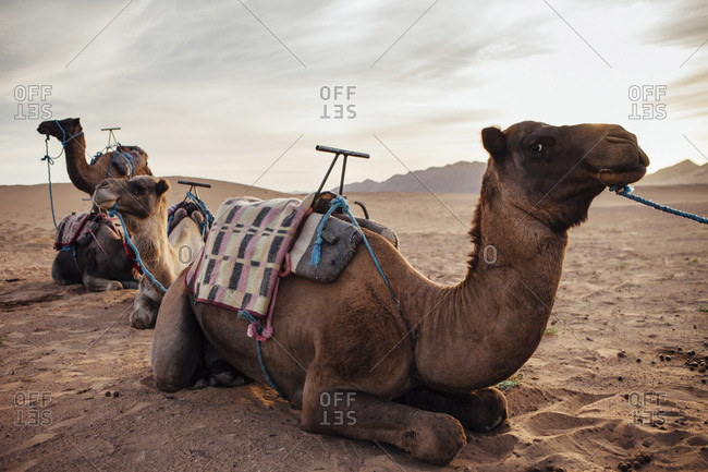 Camels relaxing on sand at desert against cloudy sky