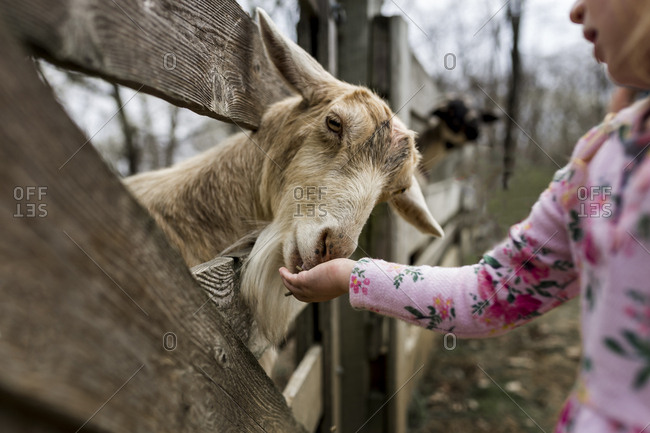 Midsection of girl feeding goat through wooden fence
