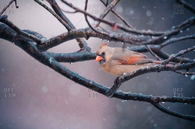 Close-up of cardinal perching on branch during snowfall