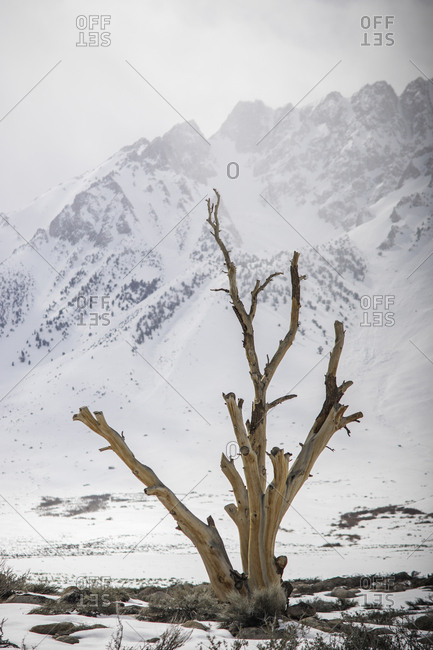 Bare tree on snow covered field against mountain