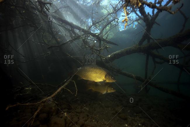 Austria- Carinthia- Common carp in Weissensee