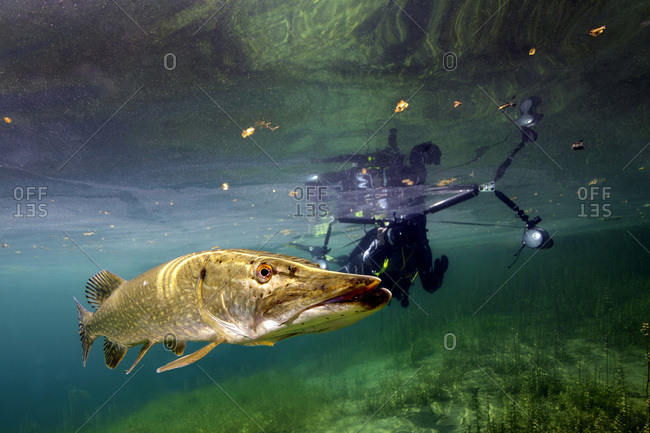 Germany- Bavaria- diver and northern pike in Echinger Weiher