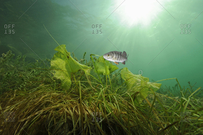 Austria- Upper Austria- European perch in Attersee