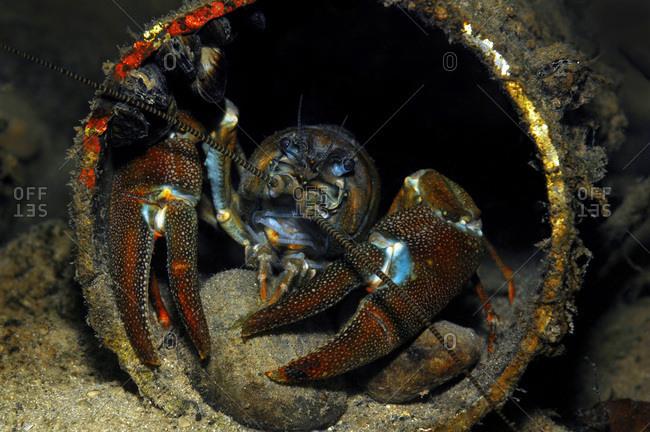 Austria- Upper Austria- river Traun- European crayfish in a pipe