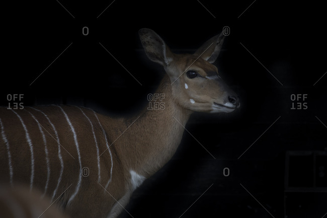 Portrait of female Nyala in front of black background