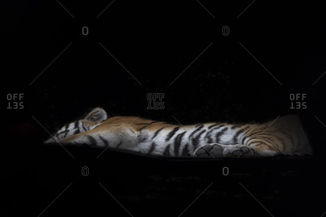 Siberian tiger lying in front of black background
