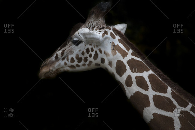 Reticulated giraffe in front of black background