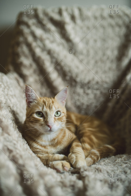 Portrait of ginger car lying on armchair