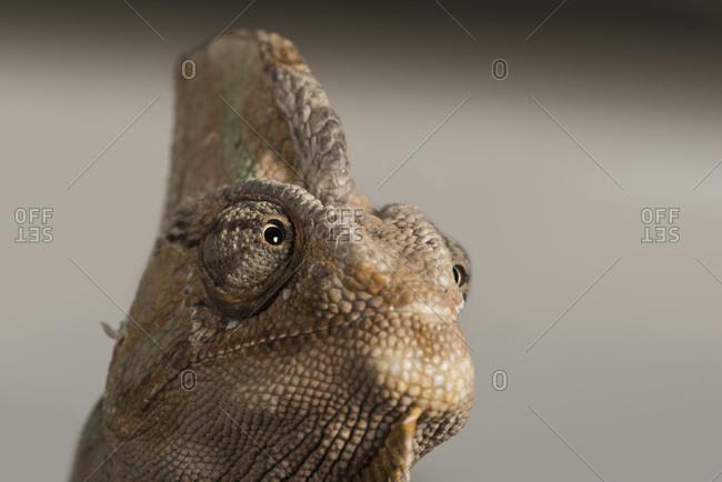 captive, Chamaeleo Calyptratus, Veiled Chameleon, Yemen Chameleon