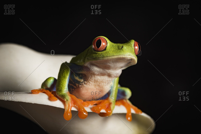 Red Eyed Tree Frog, Agalychnis Callidryas, captive