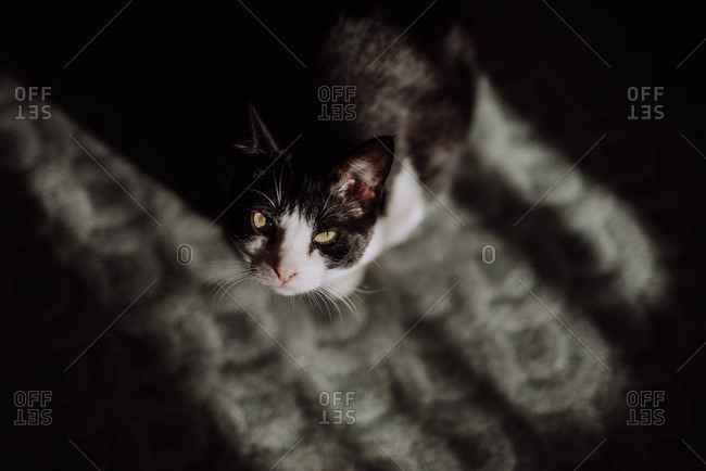 High angle view of a black and white cat