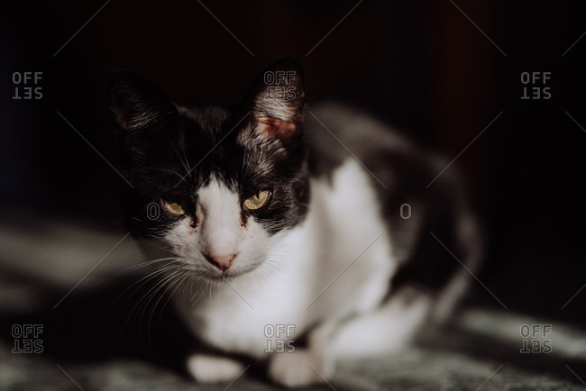 Close up of a black and white cat in window light