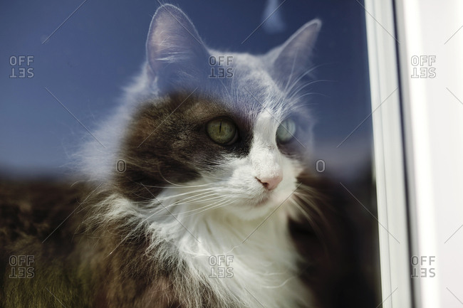 Fluffy cat looking out window