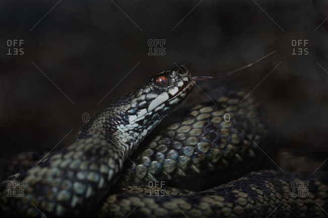 Adder snake flicking its tongue