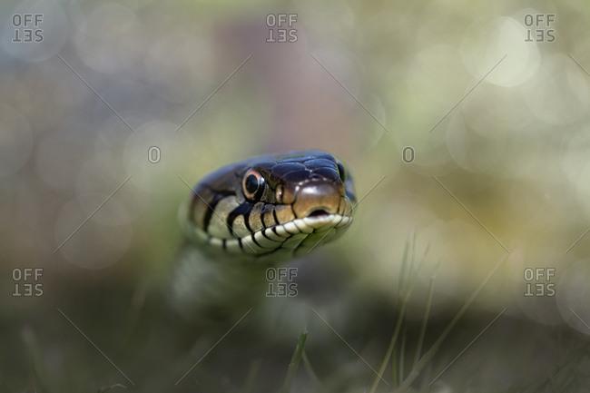 Snake crawling through grass