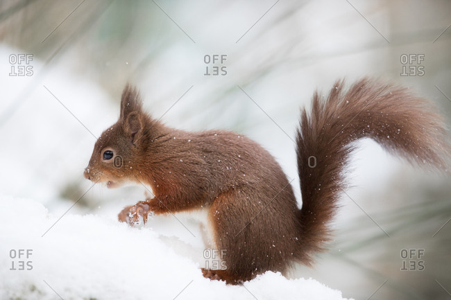 A squirrel standing in snow