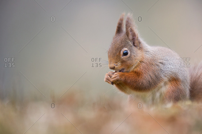 Squirrel eating in grass