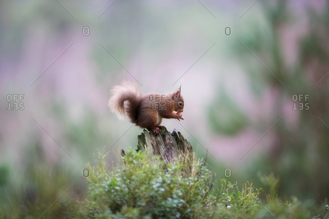 Squirrel eating on tree stump