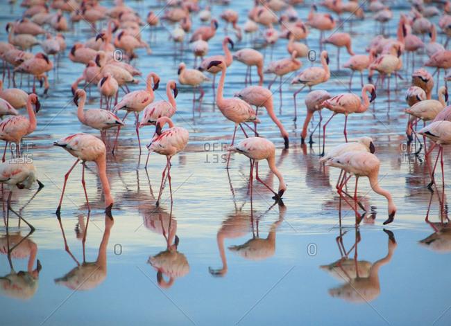 Flamingoes in a lake, Kenya