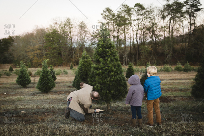 Father sawing down tree with his children on a Christmas tree farm